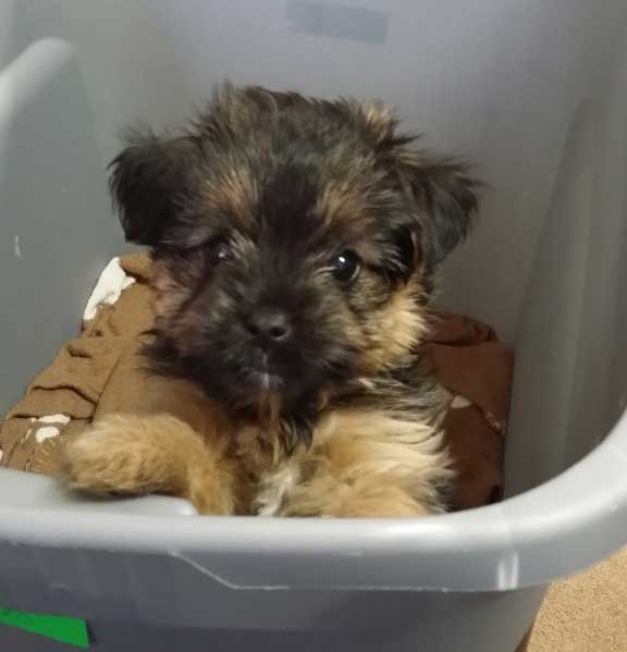 Zeus - Tiny puppy for Living Small